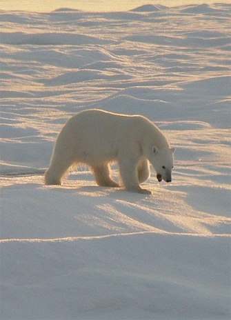 photo of a lone Polar bear on the Beaufort Sea ice cap