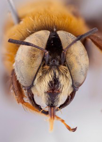 close up photo of a bee's head