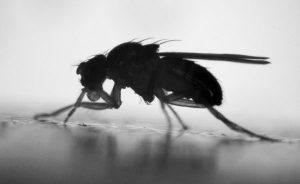 Photo of common fruit fly, Drosophila melanogaster