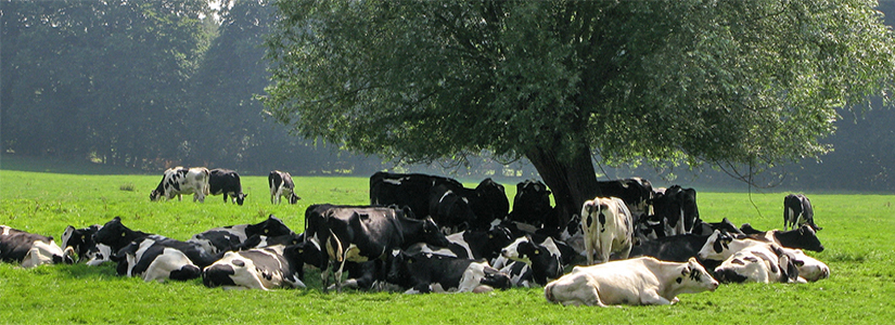 photo of a herd of cows in a field