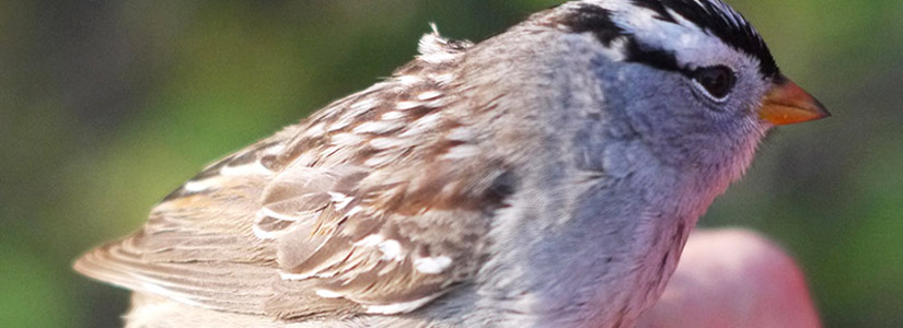 photo of a White-crowned sparrow