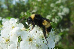 Yellow-banded bumblebee (image: Victoria MacPhail, FES, York University)