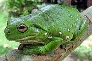 photo of an Australian Green Tree Frog
