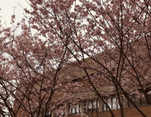 generic photo of York Japanese cherry blossums
