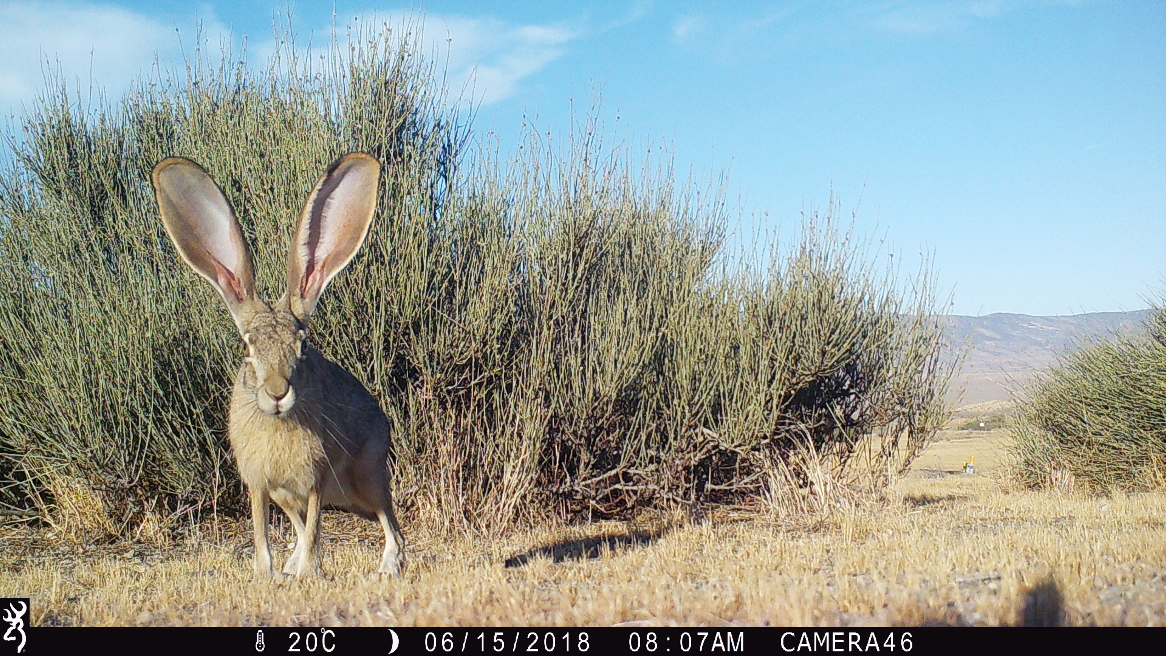 Image of a rabbit taken by a camera trap