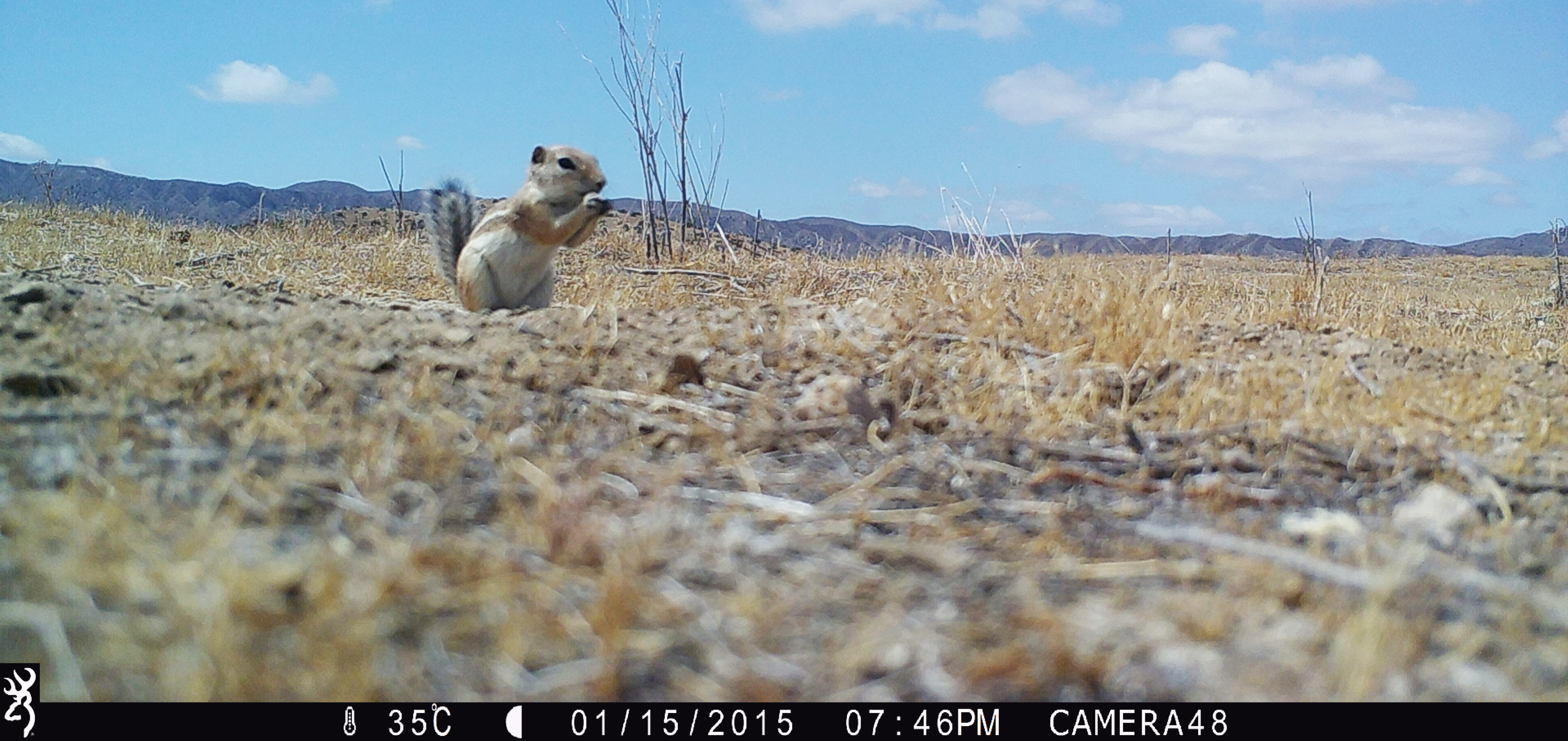 Image of a chipmunk taken by a camera trap