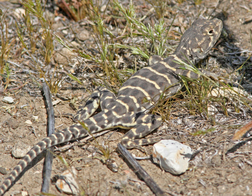 photo of Blunt-nosed leopard lizard (G. sila)