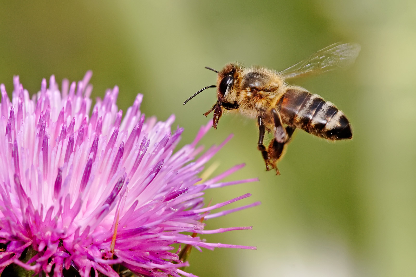 photo of a honey bee collecting pollen